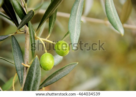 Olive tree branch and blurry background. Selective focus.