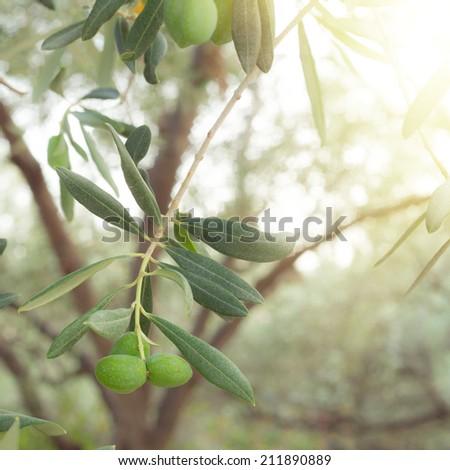 Olive tree branch at autumn sunset sky. - stock photo