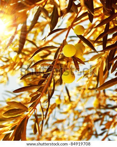 Olive tree branch at warm autumn sunset, natural background of a ripe green olives, seasonal fruits and harvest concept - stock photo
