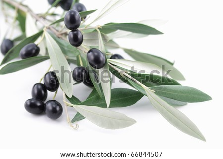 Olive tree branch with black olives