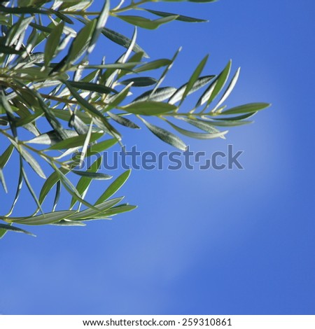 Olive Tree branch with blue sky background - stock photo