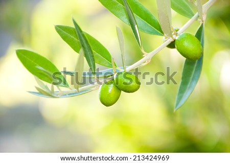 Olive tree branch with fresh growing olives - stock photo