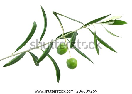 Olive tree branch with fruits isolated on a white background - stock photo