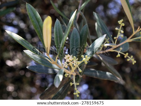 olive tree branch with leaves and flowers - stock photo