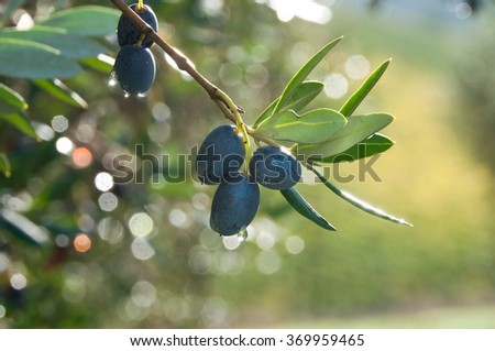 Olive tree branch with olives - stock photo