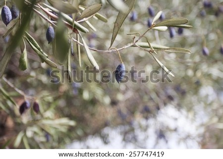 Olive tree branches with ripening fruits - stock photo