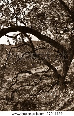 Olive tree detail in Ston area, Peljesac peninsula, Croatia, Europe. Fish eye lens wide pespective - stock photo
