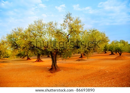 olive tree fields in red soil and blue sky in Mediterranean Spain - stock photo