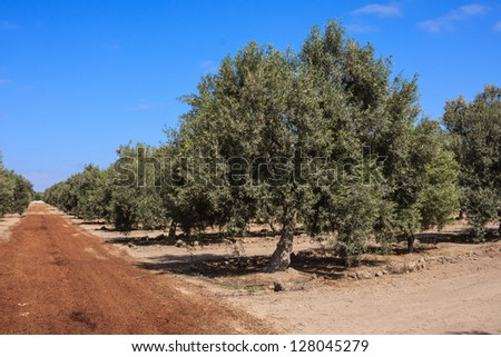 Olive tree in a growing field - stock photo