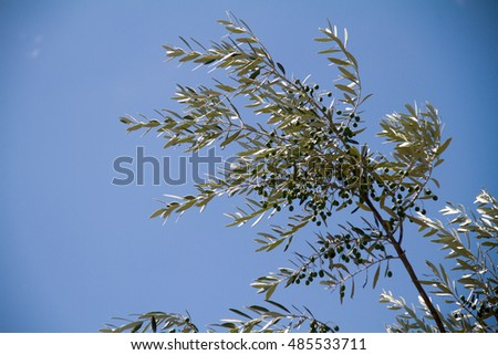 olive tree in blue sky