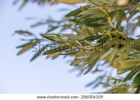 Olive tree in Crete - stock photo