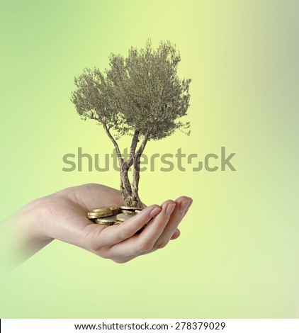 Olive tree in palm as a gift      - stock photo