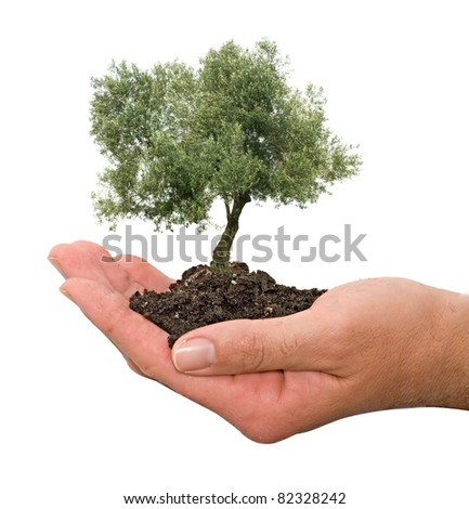 Olive tree in palms as a gift - stock photo