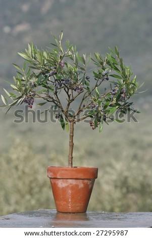 olive tree in pot - stock photo