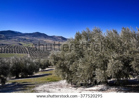 Olive tree in the province of Granada, Andalucia, Spain. - stock photo