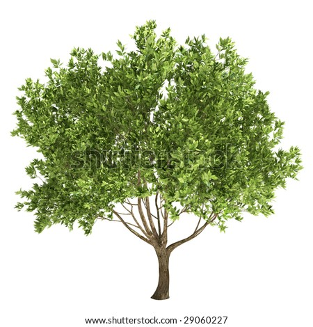 olive tree isolated - stock photo