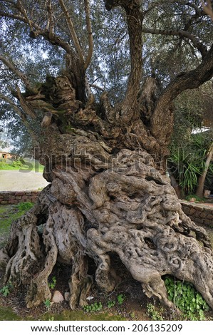 Olive tree of Vouves, the Ancient olive tree, in the town of Vouves, Crete, Greece, supposed to be one of the oldest olive tree, at least 2000 tears old - stock photo