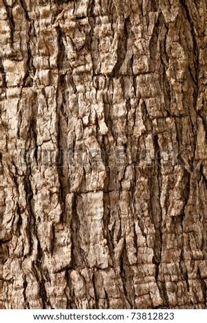 Olive tree (Olea europaea) bark background texture pattern. - stock photo