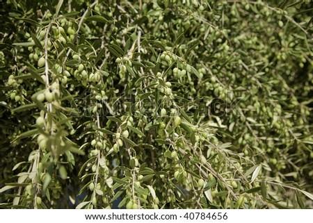 Olive Tree, Olea europaea, in Chios, Greece - stock photo