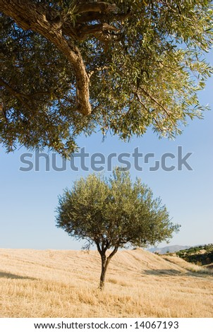 olive tree on the harvesting field - stock photo