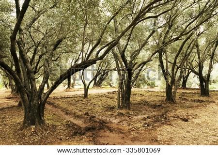 Olive tree orchard - stock photo