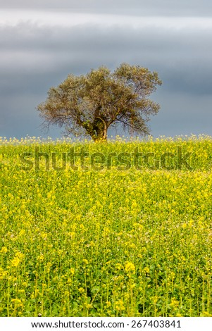 Olive tree over spring blooming field - stock photo