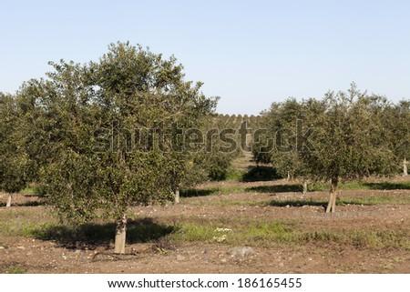 Olive tree plantation  - stock photo