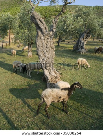 Olive tree planting and sheep at Thassos  Greece - stock photo