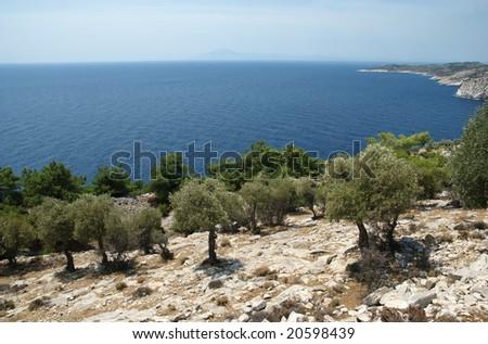 Olive tree planting at coastline of Thassos island Greece - stock photo