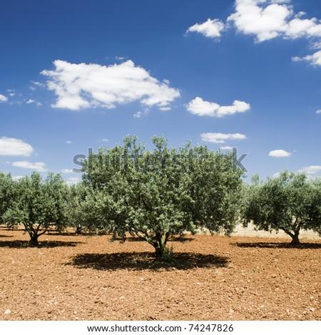 Olive tree, Provence - stock photo