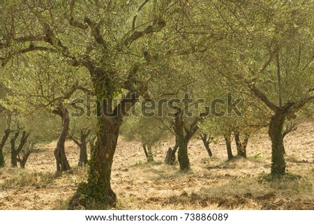 Olive tree, Provence. France. - stock photo
