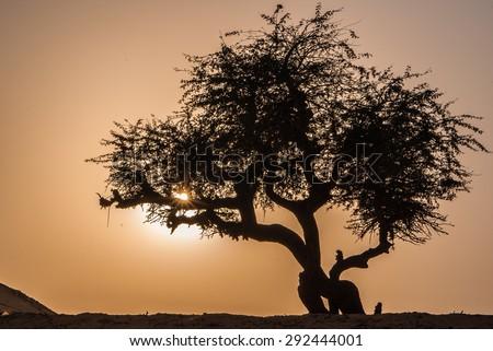 Olive tree silhouette. Sahara, Egypt - stock photo