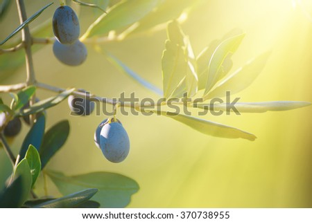 Olive tree with fruits, natural sunny agricultural food  background - stock photo
