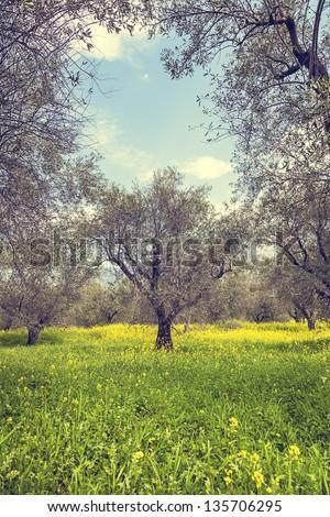 olive trees - stock photo