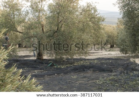 Olive trees after being beaten to pick olives on a net  - stock photo