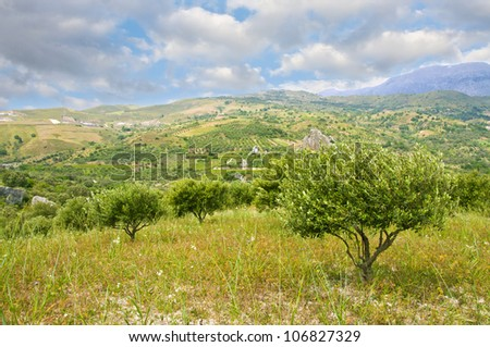 Olive trees and cloudy sky - stock photo