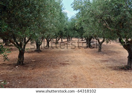 Olive trees and free range poultry in the country. - stock photo