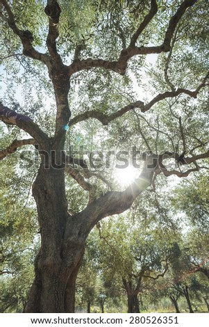 Olive trees and sun rays. Olive plantation - stock photo