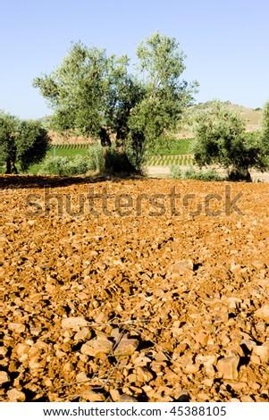 olive trees, Castile-La Mancha, Spain - stock photo