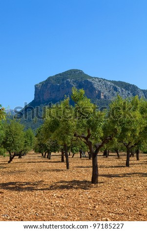 Olive trees from Majorca soil from mediterranean islands of Spain - stock photo