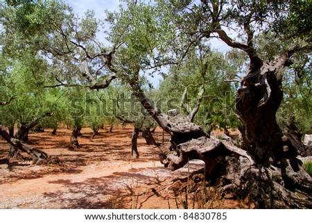 Olive trees from Majorca with red clay soil from Balearic islands in Spain - stock photo