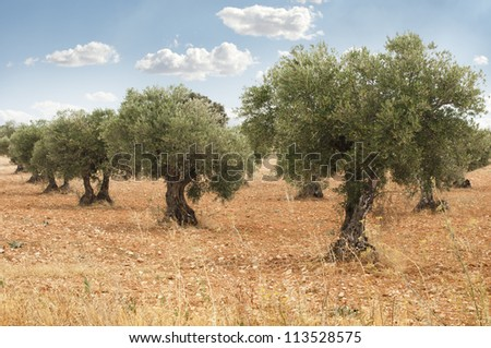 Olive trees in a row. Plantation and cloudy sky - stock photo