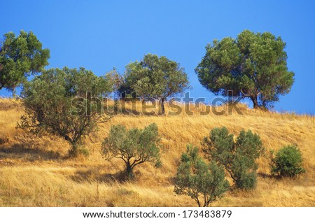 Olive trees in a row plantation grove photo in mediterranean. - stock photo