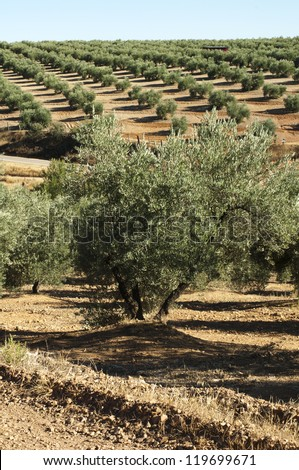 Olive trees in a row. Spanish red soil - stock photo
