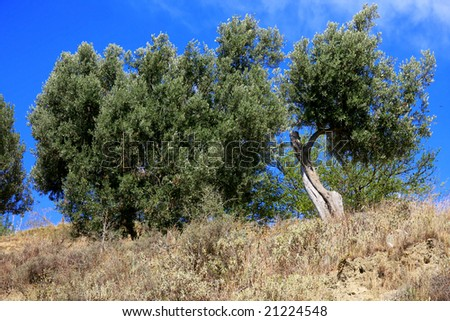 Olive trees in Calabria, Italy