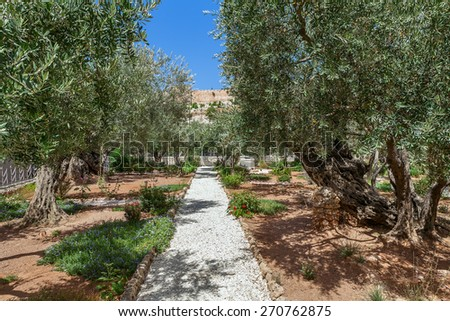 Olive trees in famous Gardens of Gethsemane in Jerusalem, Israel. - stock photo