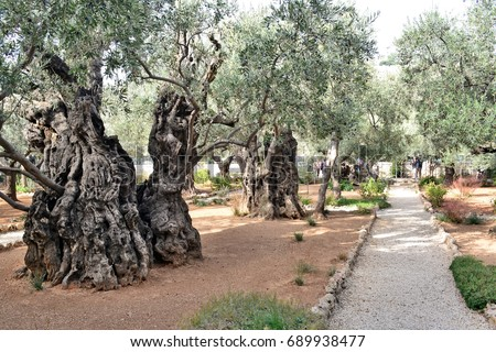 Olive Trees In Garden Near Gethsemane In Jerusalem, Israel