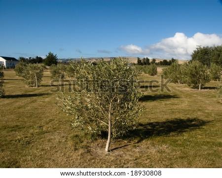 Olive trees in grove, Martinborough, Wairarapa, New Zealand - stock photo