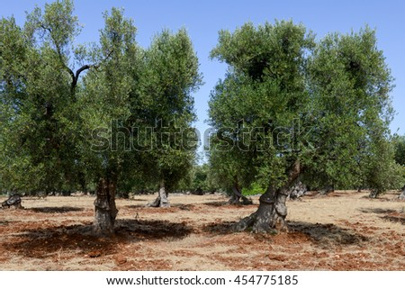 Olive trees in Salento on Puglia, Italy