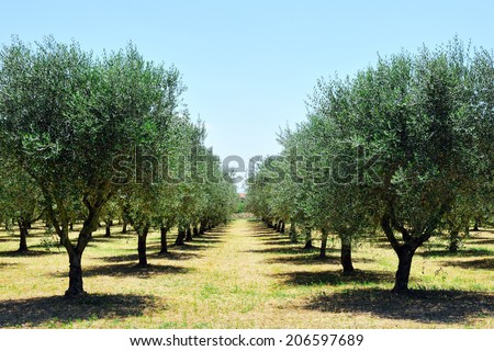 olive trees in Tuscany countryside, Toscana, Italy, Europe